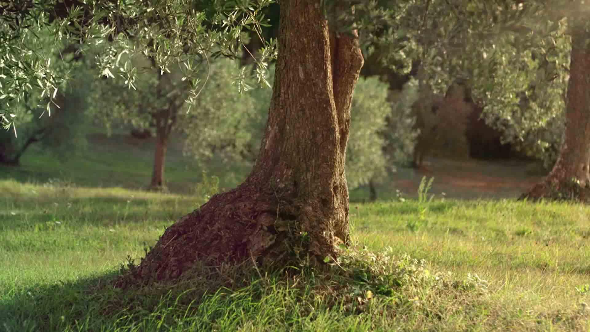 Das Bild zeigt einen Baumstamm. Dieser steht in der Mitte einer Wiese. Die Wiese ist grün. Der Hintergrund zeigt noch mehr Bäume, diese sind jedoch nicht gut zu erkennen, da sie verschwommen sind. Das Bild dient als Sliderbild für den Portoflioeintrag Kurzfilm Tränen der Olive von Panda Pictures.