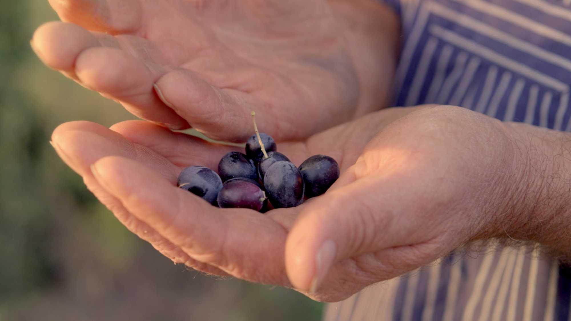 Das Bild zeigt zwei Hände. Sie halten Oliven. Diese sind schwarz. Auf der rechten Seite des Bildes sieht man ich ein Teil eines Hemdes. Es ist blau-weiß gestreift. Das Bild dient als Sliderbild für den Portfolioeintrag Kurzfilm Tränen der Olive von Panda Pictures.